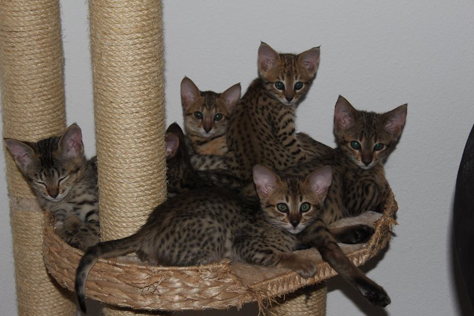 Savannah Kitten op krabpaal