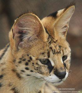 Kenmerken Serval