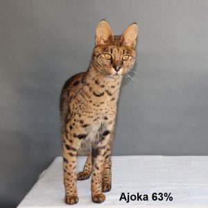The Savannah Cat - Cattery Savannah Jungle