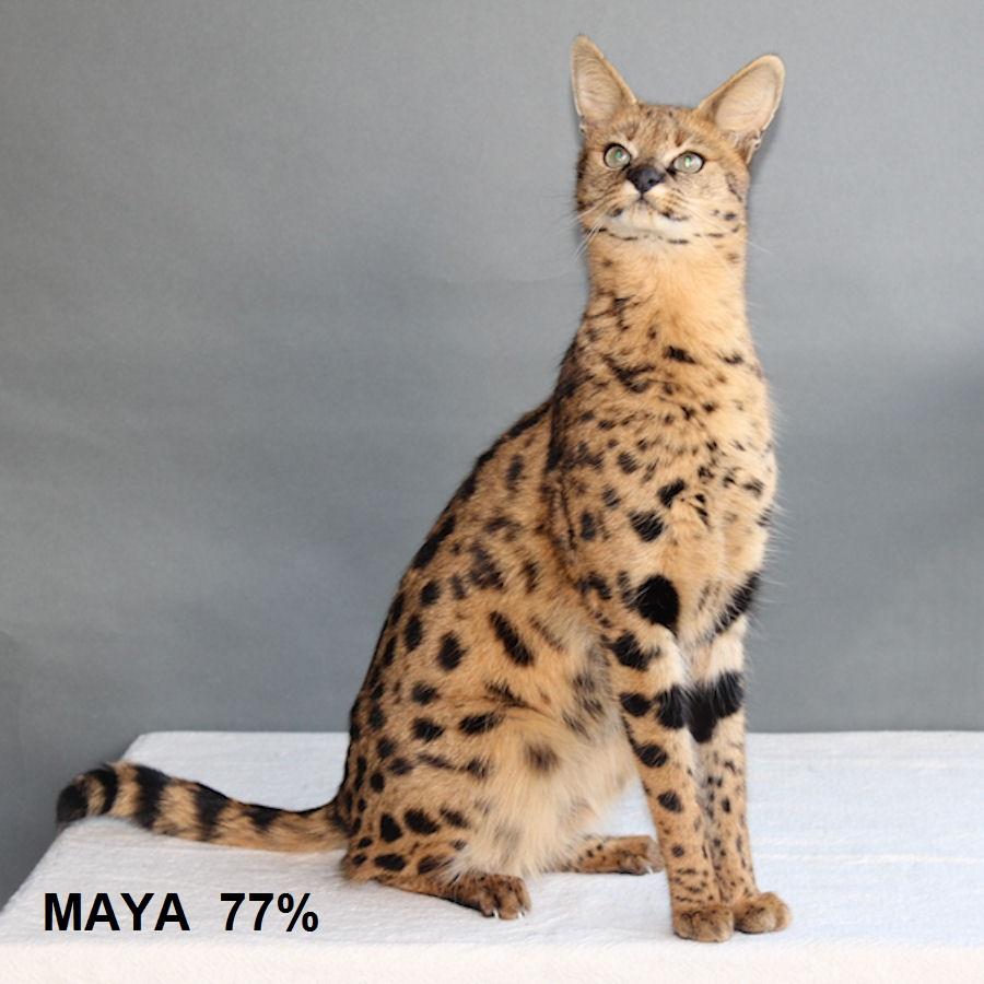 Savannah Katze Maya F1