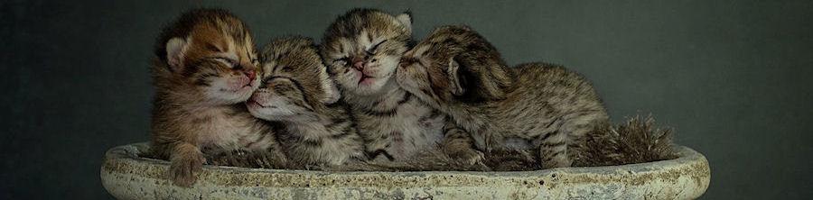 Savannah Kätzchen