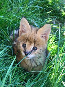 Jonge Serval Kat