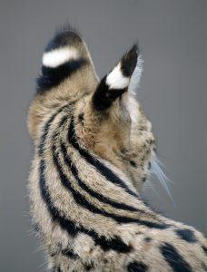 Servals springen
